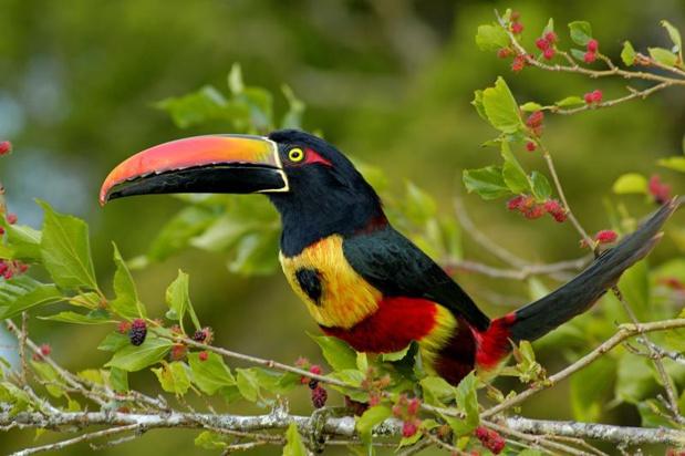 Le toucan du Costa Rica - DR ICT