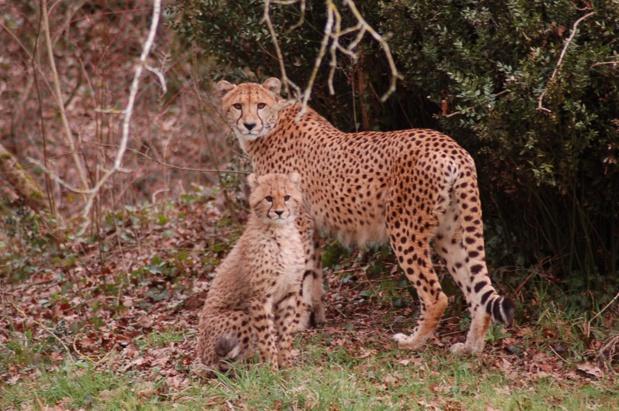 Cheetahs in Le Chemin de brousse area - DR : Planète Sauvage