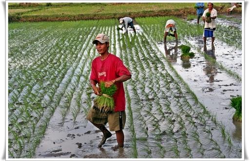Le riz est l'alimentation de base aux Philippines. Malgré les rizières où poussent 27 variétés différentes et ses 3 récoltes annuelles, mondialisation et exportation obligent, le prix de cette denrée s'est envolé de … 200% depuis janvier 2008 !