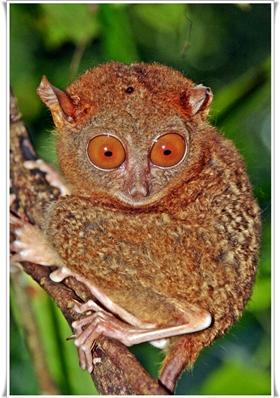 T'as de beaux yeux, tu sais ? Le Tarsier est le plus petit mammifère existant au monde. Il mesure moins de 20 cm et peut faire pivoter sa tête à... 180 degrés !