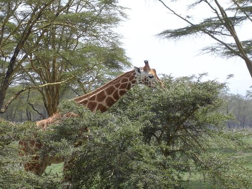 Une girafe de Rotschild dans le parc de Nakuru