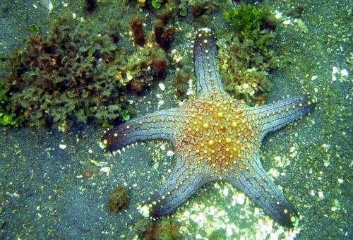 Etoile de mer Nom (Pentaster sp.) que l'on trouve en Asie (des Andamans aux Philippines) /photo ERSEN Osman