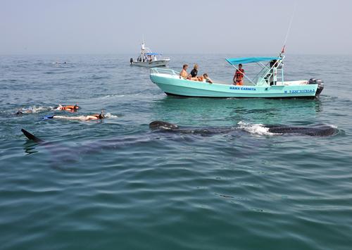 Safari requins baleines à Playa del Carmen au Mexique pour nager auprès des plus gros poissons du monde avec simplement un masque et un tuba !