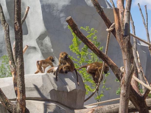 Les babouins du parc zoologique de Paris - DR wikicommons / Denis Bourez