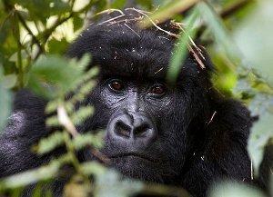 Savanna tours : Safari d'exception individuel au Rwanda pour clients d'exception avec découverte des gorilles de montagne et des chimpanzés