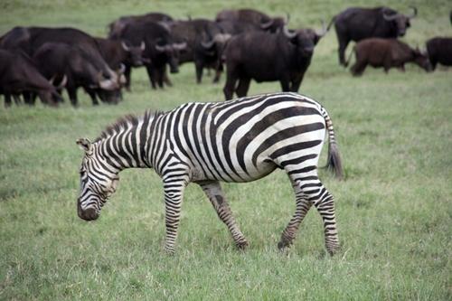 La Tanzanie est le pays qui possède le plus grand nombre d'animaux sauvages vivant en liberté dans ses quelque 250 000 km2 de réserves.