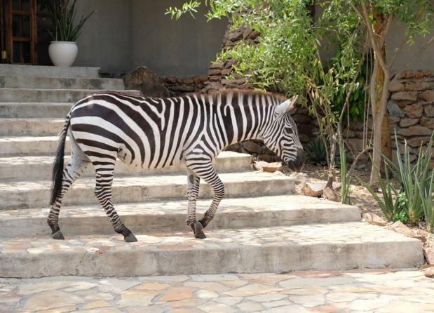 Un hôte de choix pour accueillir les clients au Grumeti Hills qui proposera des safaris en 4x4 électriques - DR Facebook Tanganyika Expéditions