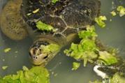 La tortue Isabel passagère du MSC Magnifica