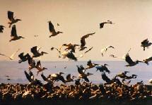 Selon les responsables, les animaux infectés auraient contracté la maladie auprès d'oiseaux migrateurs et il s'agirait d'un incident isolé.