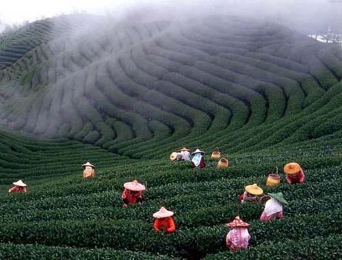 Les cultures de thé ©Guo ChiNan