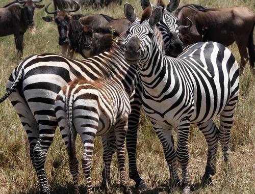 Le spécialiste du safari propose dans sa brochure générale Longs-Courriers 2010/2011 deux produits labellisés « Prestiges », un sur le Kenya, un autre sur la Tanzanie /photo JdL)