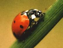 L'APS a repris a son compte le symbole de la coccinelle car c'est le seul insecte qui n'abandonne pas ses congénères...