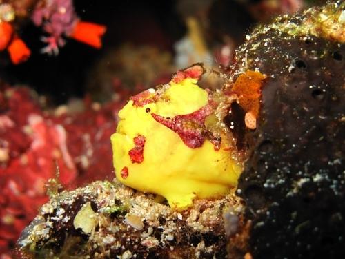 Un frogfish dans les Cabilao Island aux Philippines©Xavier Méal