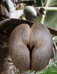 Seychelles : cachez-moi ce ''coco-fesses'' que je ne saurai voir !