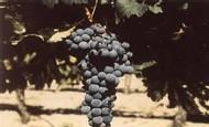 ''Escapades vigneronnes'' le Guide de l'Oenotourisme en Hérault