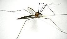 L'épidémie de Chikungunya sévit à La Réunion