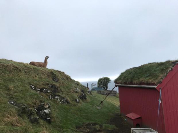 Sur l'île de Nólsoy, point de départ de randonnées magiques, vivent quelques dizaines d'habitants... et un lama ! ©PG TM