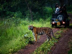 Madhya Pradesh représente près de 20% de la population de tigres de l'Inde - DR