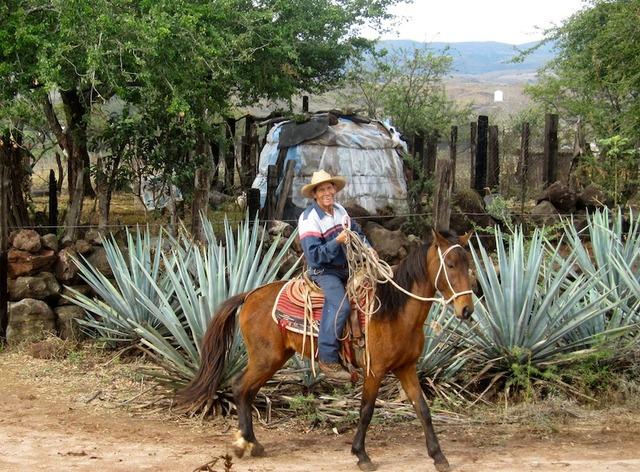 Un cultivateur d'agave bleu dans la région de Tequila-DR LAC