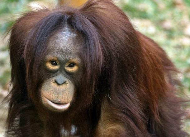 Les îles de Bornéo et Sumatra possèdent une grande population d'orangs-outans - Wikimedia Commons