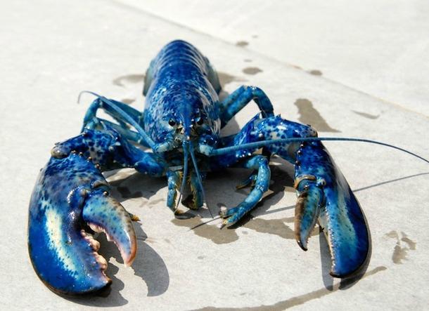Au Nouveau-Brunswick, on peut manger du homard matin, midi et soir. Le crustacé étant vendu quatre fois moins cher qu'en France. DR