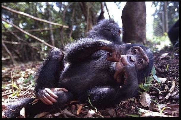 La Sierra Leone possède l'une des plus importantes populations de chimpanzés d'Afrique de l'Ouest. On peut les admirer dans le sanctuaire de Tacugama. DR