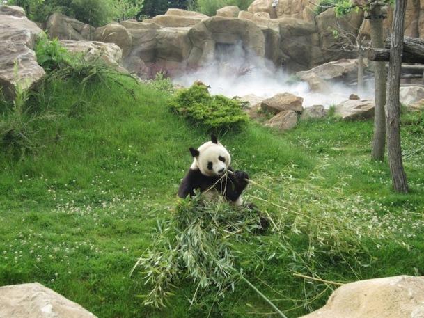 Les pandas du zoo de Beauval proviennent de la région de Chengdu, qui abrite la majorité de la population mondiale. DR - LAC