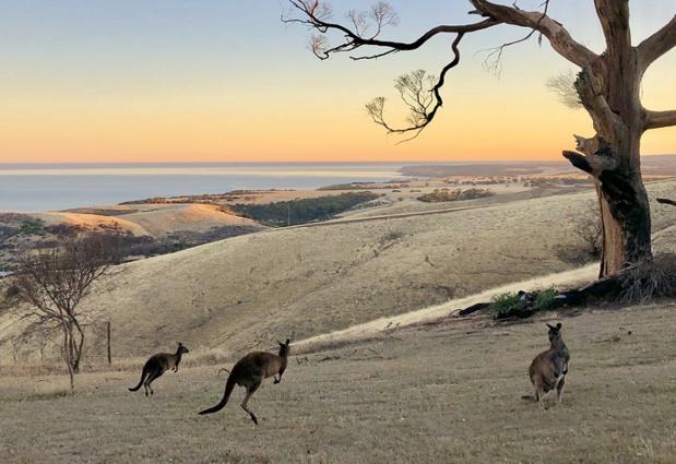 Après les incendies dévastateurs ayant tué des milliers d'animaux, la faune australienne retrouve un peu de répit - Crédit photo : Sébastien Cros
