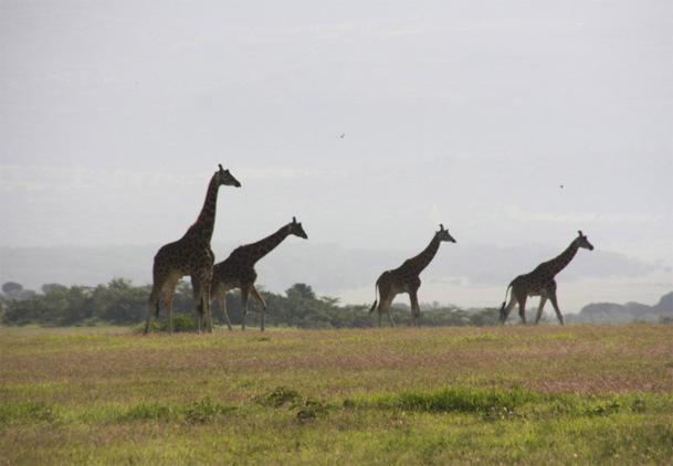 Les safaris se déroulent normalement au Kenya, les émeutes sont localisées uniquement au centre de Mombasa - Photo JdL