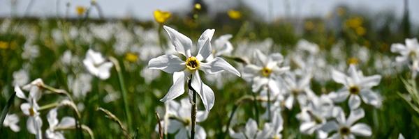 DR Les Clés de l'Aubrac : Narcisse sauvage