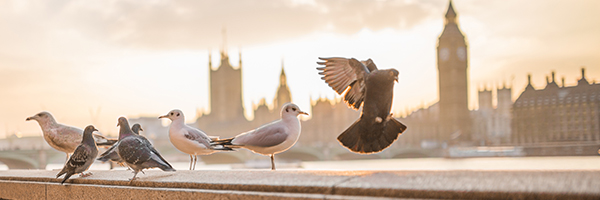 big ben pigeons © PIXABAY