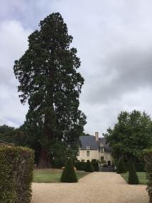 Devant le manoir de Poulaines, un séquoia giganteum plus que centenaire - DR : J.-P.C.