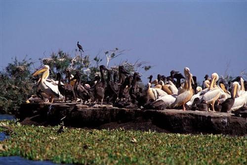 Bousculade d'oiseaux sur les îles de la mangrove