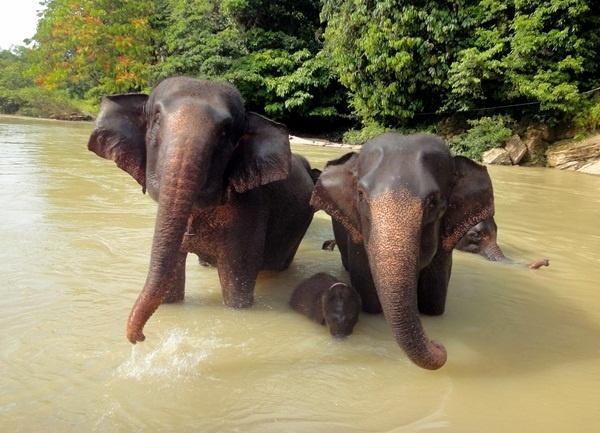 En 2013 Asia table notamment sur le fabuleux archipel indonésien en mettant les projecteurs sur Sumatra. A retenir : le Parc National de Tanjung Leuser classé par l'Unesco pour aller à dos d'éléphants,  avec des patrouilleurs, à la rencontre des derniers orangs-outans... /photo dr