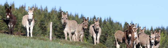 Les ânes de Massif Central Randonnées+ © Olivier MATHIS