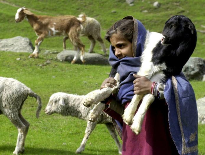 La laine de cachemire était produite à l'origine, au XVe siècle, dans la région du sous-continent indien du même nom. Sajjad Hussain / AFP