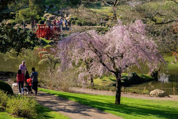 Fêtte des cerisiers Hanami - Parc Oriental de Maulevrier en Anjou - DR