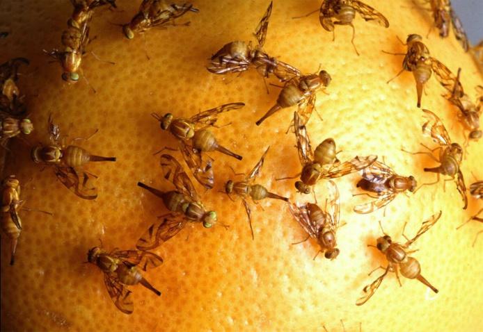 Mouches mexicaines des fruits. Originaire du Guatemala et du Mexique, cette espèce est envahissante en Californie, où elle pèse sur l'agriculture du pamplemousse. Ici, des femelles déposant leurs œufs sur un fruit. Jack Dykinga/USDA Agricultural Research Service (2007), CC BY-NC-ND