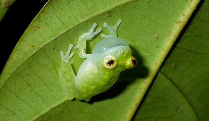 © BVillette Hyalinobatrachium-cappellei chantant sous une feuille RNR -Trésor