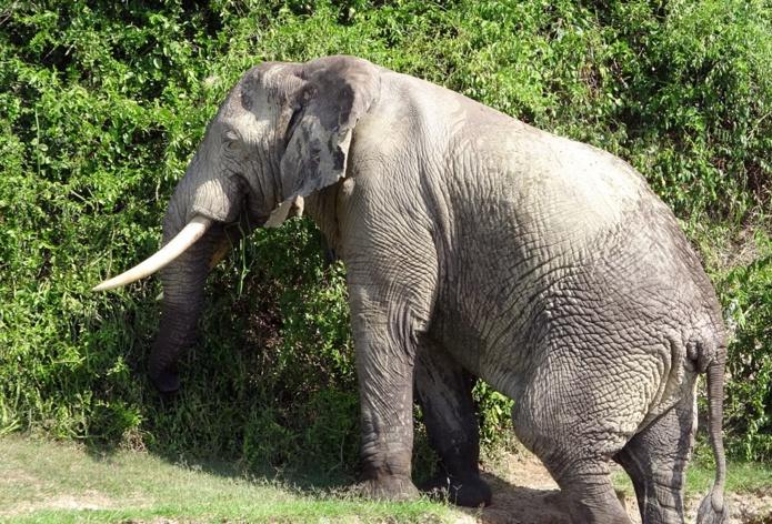 Les vieux mâles solitaires laissent leur progéniture sous à garde attentive des mamans éléphant /crédit CM