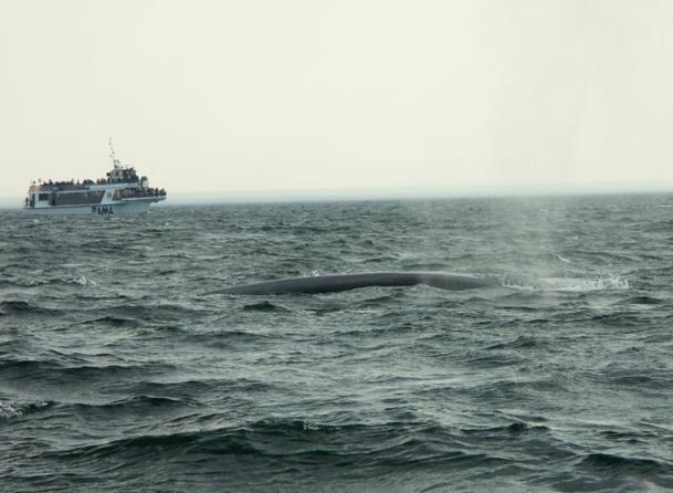 La vue des baleines, ces géants gracieux (et des « petits » bélugas blancs) battant l'air de leur souffle avant de replonger dans les fonds est prodigieuse - DR : JDL