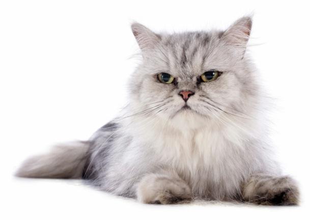 """Et l'avenir du chat perché ? Une candidature à la Présidence du Snav, sur laquelle le """"chat"""" botte (7 lieux ?) très timidement et sans grande conviction, en touche : """"Je ne dis pas oui… Je ne dis pas non"""". Une réponse de normand pour un Toulousain ? Bizarre... /fotolia"""