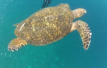 Dans les eaux translucides de l'Océan Indien bordant les îles de Gili, il n'est pas rare de voir des tortues de mer. - Photo CP