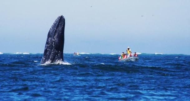 Les clients pourront observer les baleines grises - DR : Altiplano