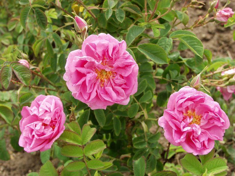 La rose bulgare, la plus prise au monde.