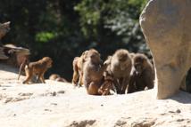 La planète des singes au Refuge de l'Arche - DR : JC Druais - Sud Mayenne Tourisme