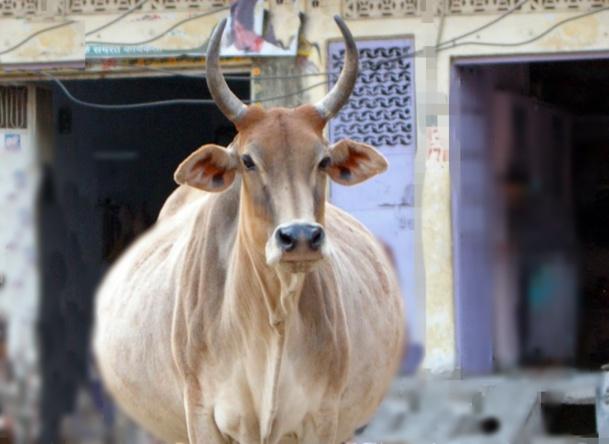 La case de l'Oncle Dom : pour les vaches grasses (et les visas) faudra repasser en Inde...