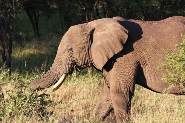 En Tanzanie, plutôt qu'une ville, il faut voir au moins 3 grands parcs au nord du pays : le Tarangire, le Ngorongoro et le Serengeti - DR : JDL