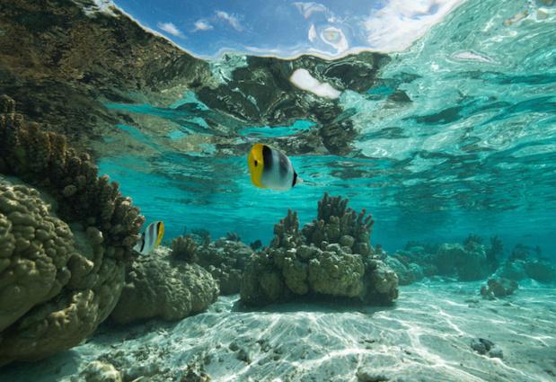 Joli petit poisson papillon qui se balade dans les eaux turquoises de la Polynésie française. DR-Salon de la plongée.