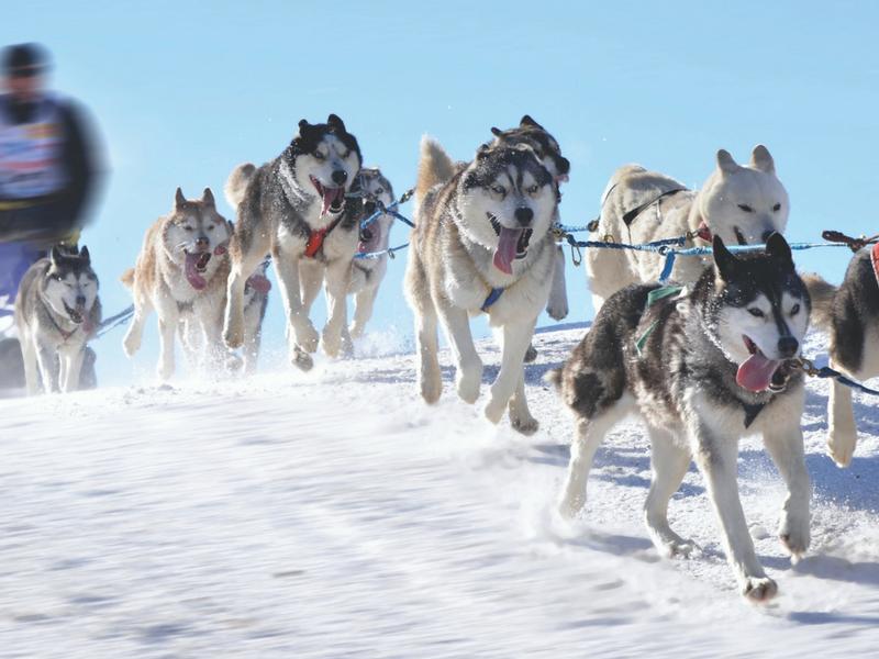 Dès que le convoi démarre, les aboiements cessent, les bêtes se concentrent totalement sur leur course. Il faut dire que le départ est enlevé - © Fotolia